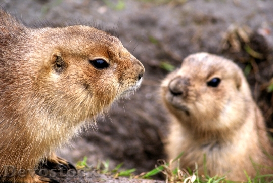 Devostock Animals Prairie Dogs Rodents 373 4K