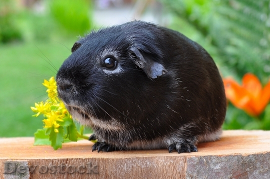 Devostock Guinea Pig Rodent Animal Smooth Hair 4717 4K.jpeg