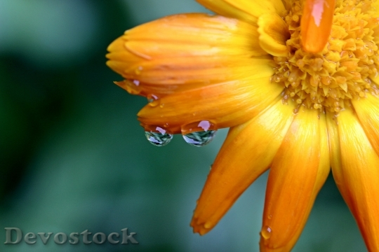 Devostock Marigold Calendula Yellow Orange 15814 4K.jpeg