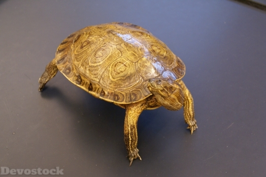 Devostock Turtle Animal Close Up HD