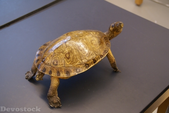 Devostock Turtle Animal Reptile Macro HD