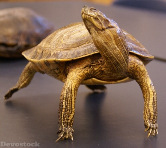 Devostock Turtle Reptile Animal Macro HD