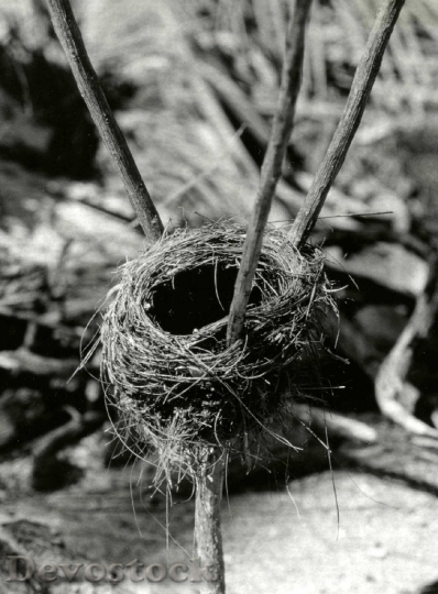 Devostock Christmas Island warbler nest, Christmas Island, March 1967