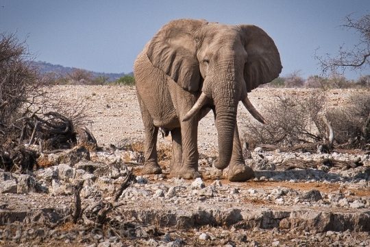 Devostock AFRICAN ELEPHANT WALKING WILDERNESS