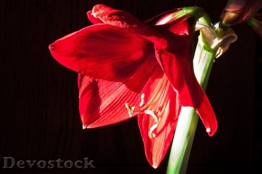 Devostock Amaryllis Red Flowers Floer 7 4K