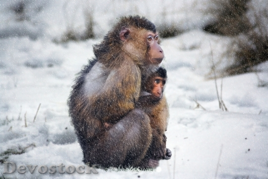 Devostock Animal PARENT CHILD MONKEY COLD