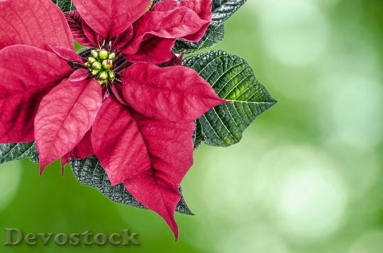 Devostock Christmas High Key Poinsetia 0 4K