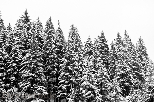Devostock CONIFEROUS WOOD COVERED SNOW