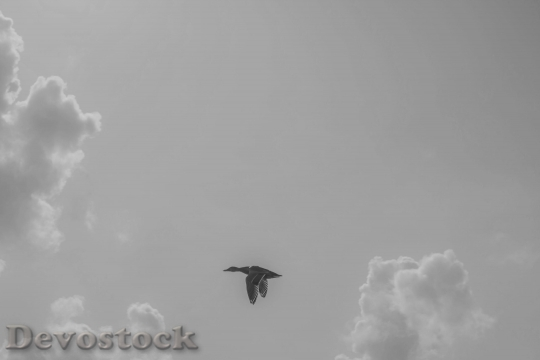 Devostock Duck Bird Fly Flight 633892 4K.jpeg