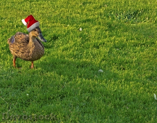 Devostock Duck Holiday Christmas unny 4K