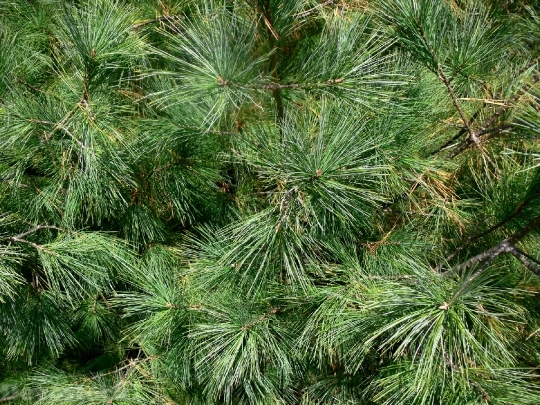 Devostock Fir Tree Evergreen piky 4K