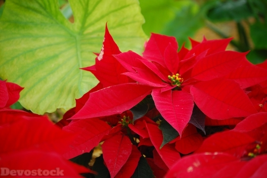 Devostock Flower Poinsettia Plant loom 4K