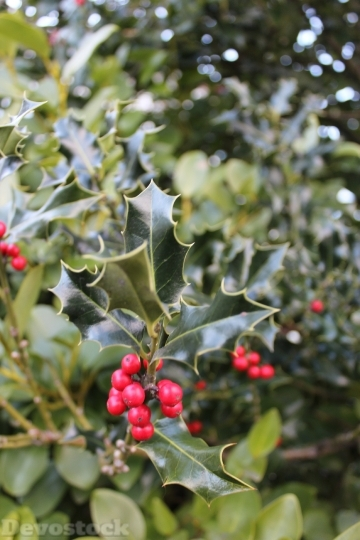 Devostock Holly Red Berry lant 4K