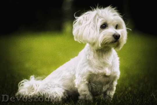 Devostock Maltese Dog Cute