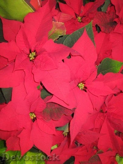 Devostock Poinsettia Christmas Wildflower 35681 4K