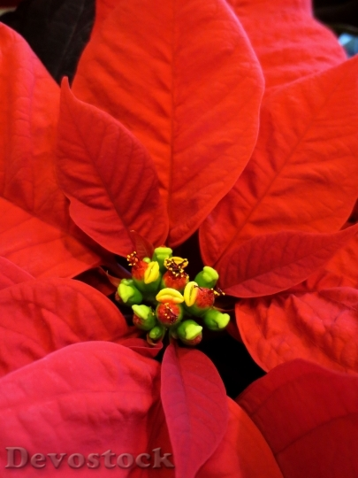 Devostock Poinsettia Flower Christma Red 4K