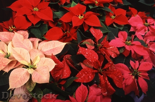 Devostock Poinsettias Plants Christmas 60466 4K