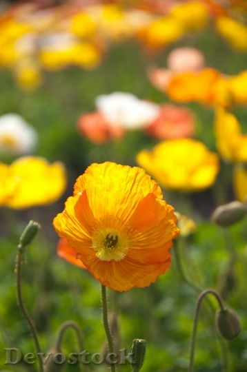 Devostock Poppy Spring Flowers Yellow 6961 4K.jpeg
