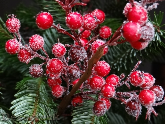 Devostock Red Christmas Berries Traditioally 4K