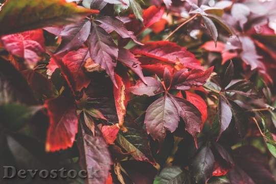 Devostock Red Leaf Leaves Big 4K
