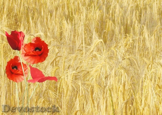 Devostock Red Poppy Papaver Rhoeas Corn Field Nature 6828 4K.jpeg