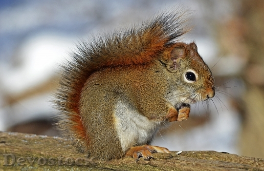 Devostock Red Squirrel Rodent Nature Wildlife 745 4K.jpeg
