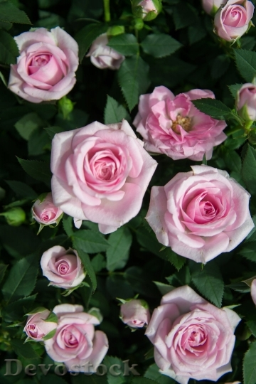 Devostock Rose Pink Flower Flora 61530 4K.jpeg
