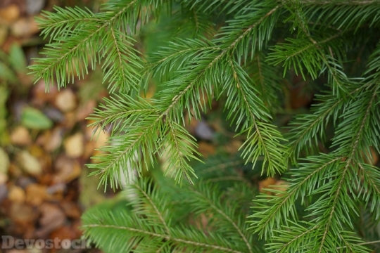 Devostock Softwood Fir Branch Everreen 4K