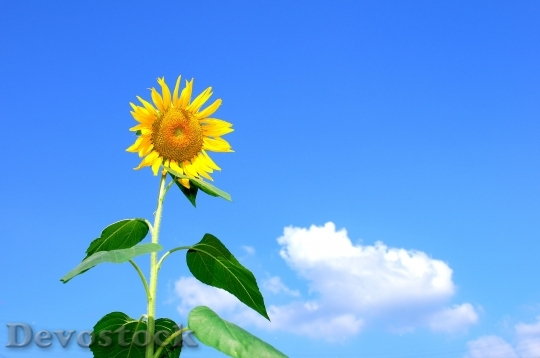 Devostock Summer Sunflower Flowers Sky 5459 4K.jpeg