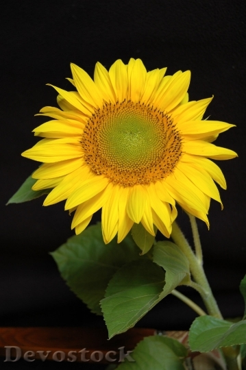 Devostock Sun Flower Blossom Bloom Yellow 15808 4K.jpeg