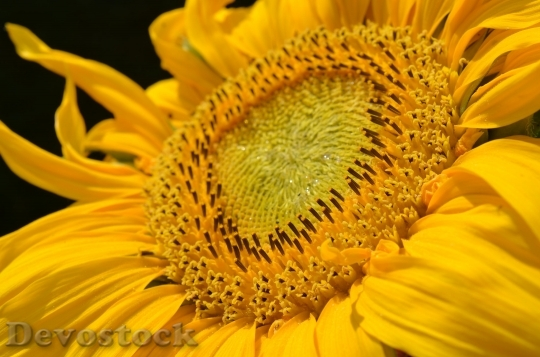Devostock Sun Flower Blossom Bloom Yellow 4725 4K.jpeg