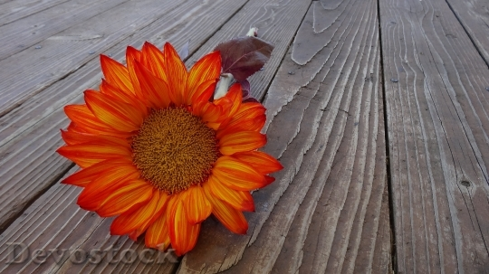 Devostock Sunflower Autumn Flower Bloom 6526 4K.jpeg