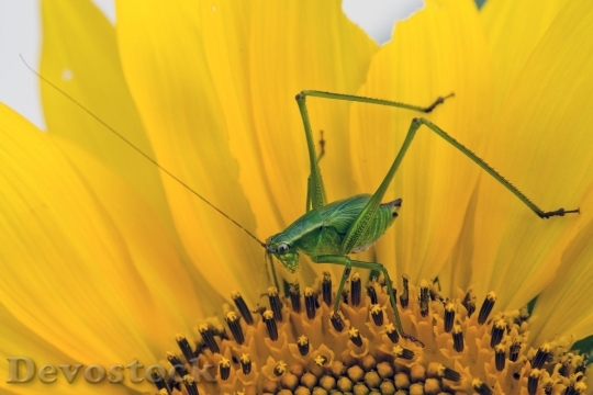 Devostock Sunflower Bug Grasshopper Insect 5334 4K.jpeg