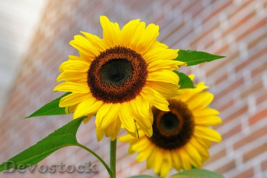 Devostock Sunflower Flowers Bright Yellow 4616 4K.jpeg