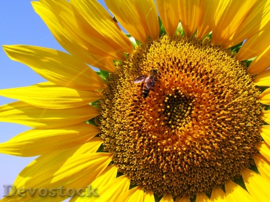 Devostock Sunflower Plant Flower Yellow 6019 4K.jpeg