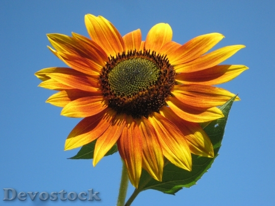 Devostock Sunflower Plant Nature Outside 7033 4K.jpeg