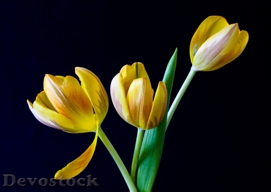 Devostock Tulip Spring Flowers Yellow 5329 4K.jpeg