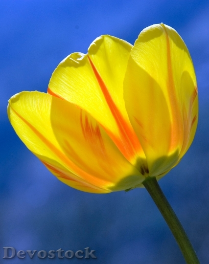 Devostock Tulip Yellow Spring Flowers 6015 4K.jpeg