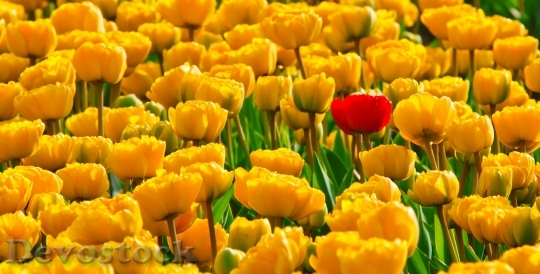 Devostock Tulips Flowers Yellow Beautiful 8717 4K.jpeg
