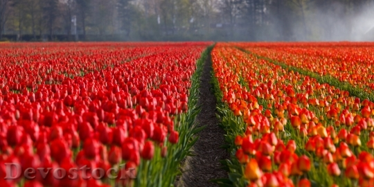 Devostock Tulips Tulip Field Fields 8733 4K.jpeg