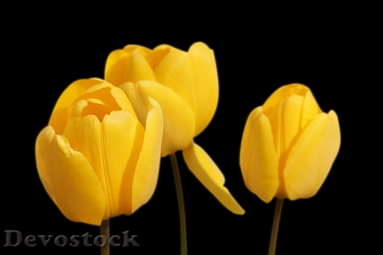 Devostock Tulips Yellow Flowers Spring 9973 4K.jpeg