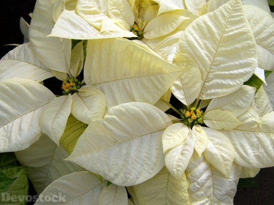 Devostock White Poinsettia Poinsettias 8100 4K