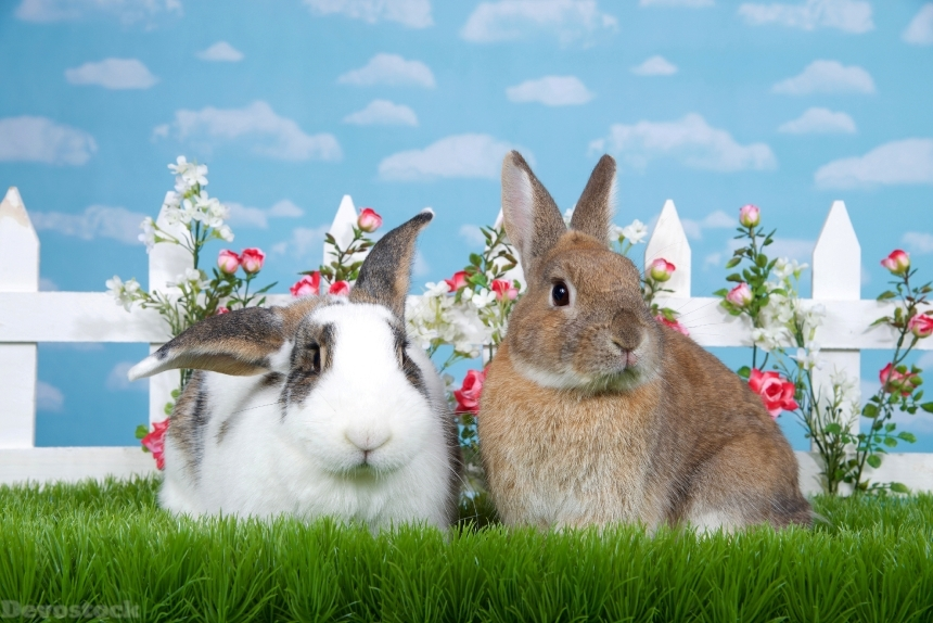 Devostock brown dwarf rabbit sitting in green grass next to white and brow