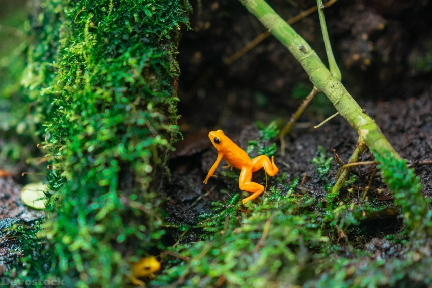 Devostock Amphibian Animal Photography Beautiful Orange Frog 4k