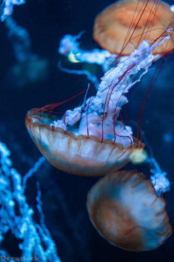 Devostock Animal Aquarium Aquatic Animal Jellyfish 4k