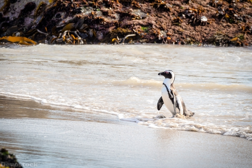 Devostock Animal Avian Beach Penguin 4k