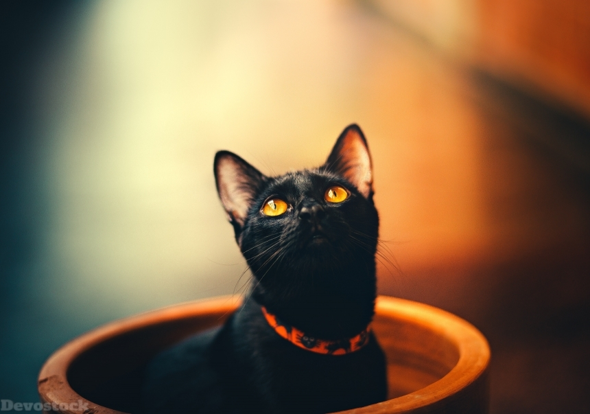 Devostock Animal Black Cat Orange Eyes 4k