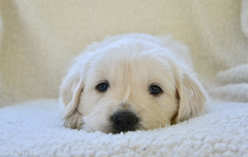 Devostock Animal Cute White Dog Relaxing 4k
