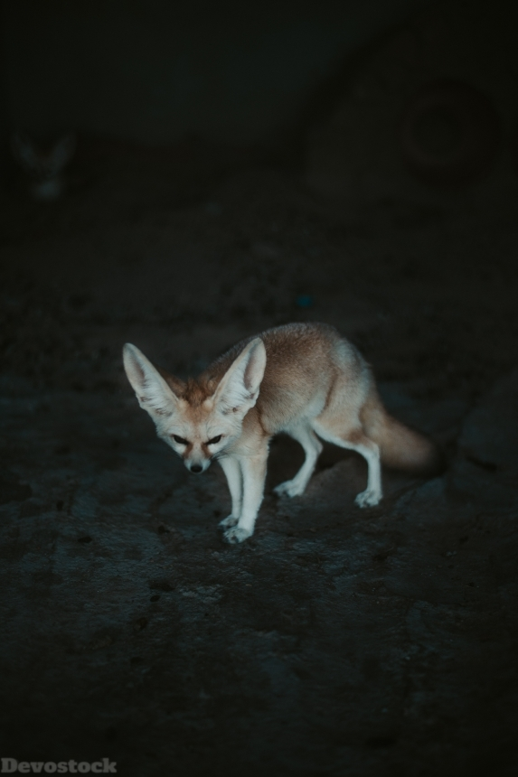 Devostock Animal Dark Photography Fennec Fox Rare 4k