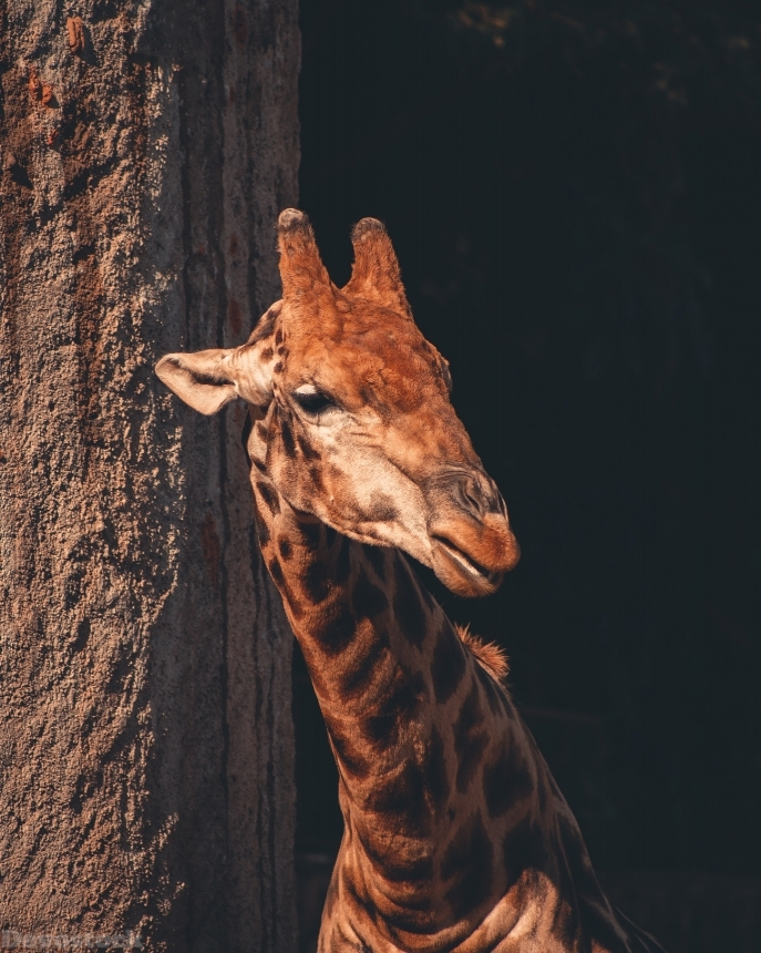 Devostock Animal Giraffe Head Photography Portrait 4k